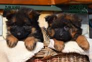 08_Puppies_Garry_Shveciya_DZHANY_DZHEYRA_LH