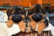 09_Puppies_Garry_Shveciya_DZHEJ_DZHANO_LH