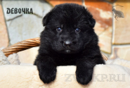 03_Puppies_Uragan_Anka_GIRL_BL