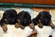 04_Puppies_Uragan_Anka_BOYS