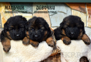 05_Puppies_Uragan_Anka_BOYS