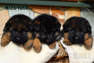 06_Puppies_Uragan_Anka_BOYS