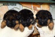 07_Puppies_Uragan_Anka_BOYS