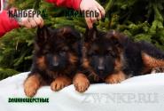 08_Puppies_Uragan_Anka_KANBERRA_KARAMEL_LH