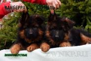 09_Puppies_Uragan_Anka_KANBERRA_KARAMEL_LH