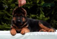 10_Puppies_Uragan_Anka_KORRADO