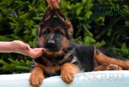 11_Puppies_Uragan_Anka_KORRADO