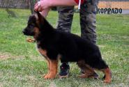 12_Puppies_Uragan_Anka_KORRADO