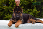 13_Puppies_Uragan_Anka_KATTANI