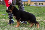14_Puppies_Uragan_Anka_KATTANI