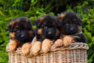 03_Puppies_Garry_Loreal_GIRLS_LH