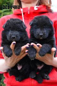 02_Puppies_Uragan_Tigris2_GIRLS_BL