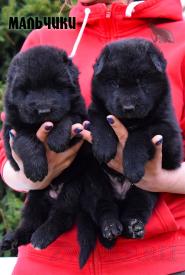 03_Puppies_Uragan_Tigris2_BOYS_BL