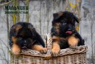 08_Puppies_Mike_Bakkara_BOYS_LH