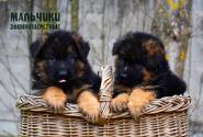 09_Puppies_Mike_Bakkara_BOYS_LH