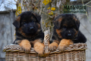 10_Puppies_Mike_Bakkara_BOYS_LH