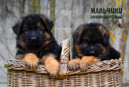 11_Puppies_Mike_Bakkara_BOYS_LH
