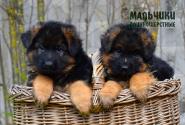 12_Puppies_Mike_Bakkara_BOYS_LH