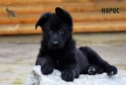 02_Puppies_Uragan_BFortuna_GIRL