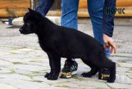 03_Puppies_Uragan_BFortuna_GIRL