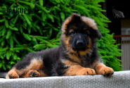 09_Puppies_Uragan_GUdacha_FAKIR_LH