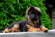 10_Puppies_Uragan_GUdacha_FAKIR_LH