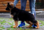 11_Puppies_Uragan_GUdacha_FAKIR_LH