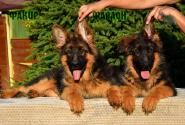 16_Puppies_Uragan_GUdacha_FAKIR_FARAON_LH