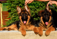 17_Puppies_Uragan_GUdacha_FAKIR_FARAON_LH