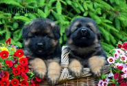 05_Puppies_Parad_Lambada_BOYS_LH