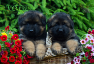 07_Puppies_Parad_Lambada_BOYS_LH