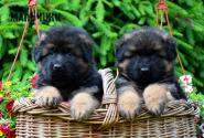 08_Puppies_Parad_Lambada_BOYS_LH
