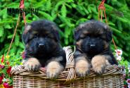 09_Puppies_Parad_Lambada_BOYS_LH