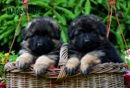 10_Puppies_Parad_Lambada_BOYS_LH