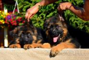 18_Puppies_Parad_Lambada_E`MER_E`SSEM_LH