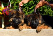 20_Puppies_Parad_Lambada_E`MER_E`SSEM_LH
