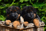01_Puppies_Yamaguchi_Ilza_GIRLS_LH