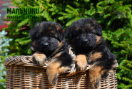 02_Puppies_Yamaguchi_Ilza_BOYS_LH