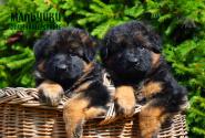 04_Puppies_Yamaguchi_Ilza_BOYS_LH