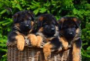 05_Puppies_Yamaguchi_Ilza_BOYS