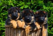 07_Puppies_Yamaguchi_Ilza_BOYS