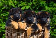 08_Puppies_Yamaguchi_Ilza_BOYS