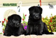 13_Puppies_Uragan_Yuventa_BOYS_BL