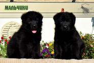 14_Puppies_Uragan_Yuventa_BOYS_BL