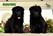 15_Puppies_Uragan_Yuventa_BOYS_BL