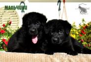 16_Puppies_Uragan_Yuventa_BOYS_BL