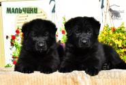 17_Puppies_Uragan_Yuventa_BOYS_BL