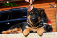 18_Puppies_Uragan_Yuventa_ZHEFFRUA