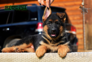 19_Puppies_Uragan_Yuventa_ZHEFFRUA