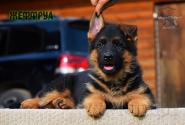 20_Puppies_Uragan_Yuventa_ZHEFFRUA